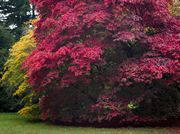 Picture of Acer in Fall Colors 2