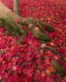 Resim Sonbaharda Akçaağaç 3