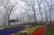 Picture of Emigan Tulips - Foggy Day