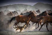 Resim Yılkı Atları 2